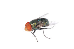 Insect fly Stock Images