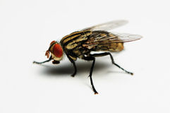 Insect- Fly Royalty Free Stock Photo