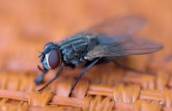 Insect fly Royalty Free Stock Photography