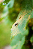 Insect fly on a grape leaf.  Stock Image