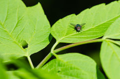 Insect fly on leaf Stock Image