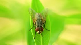 Insect Fly On A Leaf Macro Closeup Static HD Animal. Insect common housefly perched on vibrant green leaf foliage, macro closeup static shot in hd. Insects close stock video footage