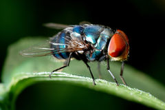 Insect fly macro Stock Image