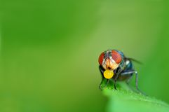 Insect fly macro. On leaf from Thailand Royalty Free Stock Photo