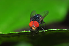 Insect fly macro. Macro of  eye Insect fly on leaf Stock Photos