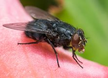 Insect fly macro on flower leaf royalty free stock photography