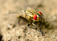 Insect fly macro on a ground Royalty Free Stock Photos