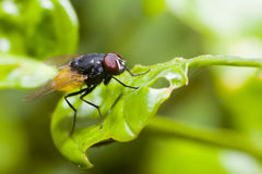 Insect fly macro on leaf Royalty Free Stock Photography