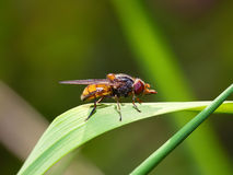 Insect fly macro on leaf. Close up Royalty Free Stock Photos