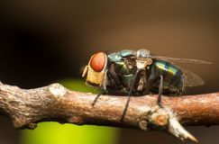 Insect fly macro photography stock images