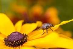 Insect fly macro on yellow leaf Stock Photography