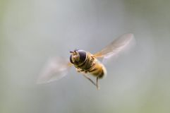 Insect while flying Stock Photo