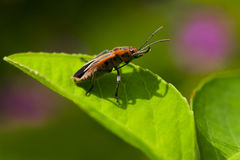 Insect  Foraging. Insect Foraging in the plant Royalty Free Stock Image
