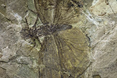 Insect fossil. For sale at a shop stock photos