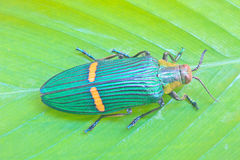 Insect From Thailand Royalty Free Stock Image