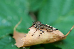 Insect gad horse fly Royalty Free Stock Photography