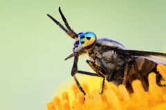 Insect gadfly with big eyes Royalty Free Stock Photography