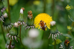 Insect gathering pollen Stock Images