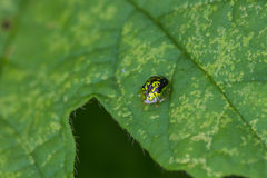 Insect Golden Tortoise Beetles Stock Photography