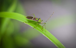 Insect On the grass leaf. Tessaratoma papillosa Royalty Free Stock Photo