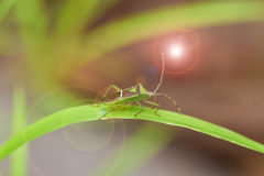 Insect On the grass leaf. Tessaratoma papillosa Stock Photography