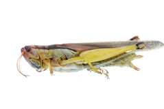 Insect grasshopper bug Royalty Free Stock Photos
