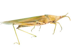 Insect grasshopper locust Royalty Free Stock Image