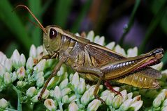 Insect, Grasshopper, Locust, Cricket Like Insect Royalty Free Stock Photos