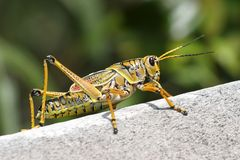 Insect, Grasshopper, Locust, Cricket Like Insect Stock Photography