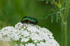 Insect green beetle sits on a white flower Stock Photo