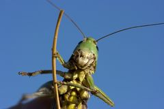 Insect a green grasshopper Royalty Free Stock Photography