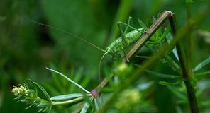 Insect, Green, Grasshopper, Nature Royalty Free Stock Images