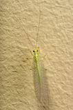Insect Green Lacewing Royalty Free Stock Photo