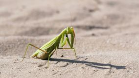The insect green mantis sits on the sand and cleans its paws. Extreme close-up stock footage