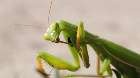 The Insect Green Mantis Sits on the Sand and Cleans its Paws. Extreme Close-up stock video