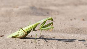 The insect green mantis sits on the sand and cleans its paws. Extreme close-up stock video footage