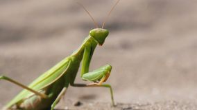 The Insect Green Mantis Sits on the Sand. Extreme Close-up stock video