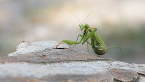 The insect green mantis sits on tree trunk. Extreme close-up stock video