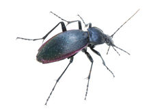 Insect ground beetle Royalty Free Stock Image