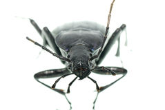 Insect ground beetle Stock Images