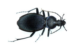 Insect ground beetle bug Stock Photo