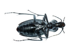 Insect ground beetle bug Stock Image