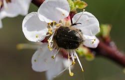 Insect het voeden op een bloemstuifmeel stock afbeeldingen