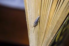 Insect het voeden op papier - zilvervisje stock foto's