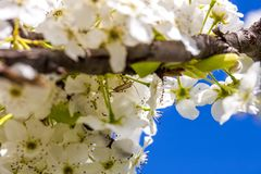Insect hiding between cherry blossoms.  Stock Images