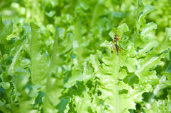 Insect hold on leaf. Insect hold on vegetable leaf Royalty Free Stock Photos