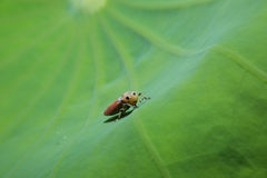 Insect holding on green leaf with close up detailed view. Stock Photos