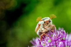 Insect, Honey Bee, Macro Photography, Close Up Stock Image