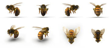 Insect honey bee. Renders set from different angles on a white. 3D illustration Stock Photo