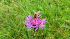 Insect hoverfly on a violet - pink wild flower knapweed in meadow. Stock Image